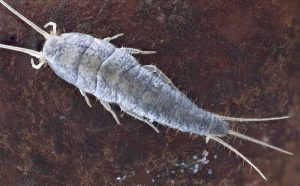 A pest control close up of a silverfish laying eggs