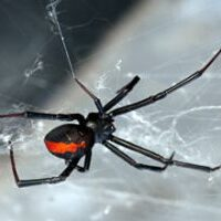 female redback spider showing the distinctive red strip down the back in a web waiting for prey